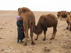 Mongolie-Mongolia-Milking camel, half of milk to owner, half to baby